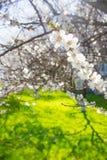 Wiosna kwiaty kwitnie białej wiśni na zamazanym zielonym backgrou Zdjęcie Royalty Free
