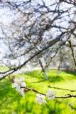 Wiosna kwiaty kwitnie białej wiśni na zamazanym zielonym backgrou Obrazy Royalty Free