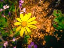 Wiosna kwiaty Kwitnie w Poleg Leją się blisko Śródziemnomorskiego s Zdjęcie Royalty Free