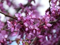 Wiosna - kwiaty na krzaku Fotografia Royalty Free