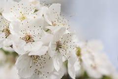Wiosna kwiaty, okwitnięcia śliwkowy drzewo w plenerowym Zdjęcie Royalty Free