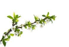 Wiosna kwiaty owocowi drzewa fotografia stock