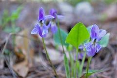 Wiosna kwiaty są błękitni Zdjęcia Royalty Free