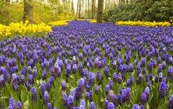 Wiosna kwiaty w Keukenhof ogródzie, holandie Obraz Stock