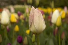 Wiosna kwiaty w Keukenhof ogródzie, holandie Obrazy Royalty Free