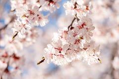 Wiosna, kwitnąć drzewa morele wiosna kwiat sunlight obrazy royalty free