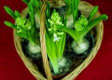 Wiosna - kwitnąć hiacynt Zdjęcia Stock