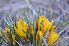 Wiosna kwitnący żółci krokusy Zdjęcia Royalty Free