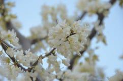 wiosna kwitnąca Zdjęcie Stock