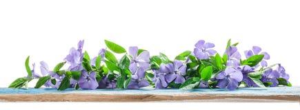 Wiosna kwitnie barwinka na starej drewnianej desce Zdjęcie Stock