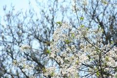 Wiosna kwitnie czereśniowych sady zdjęcie stock