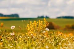 Wiosna kwitnie dandelions w łące, wiosny scena Obraz Stock