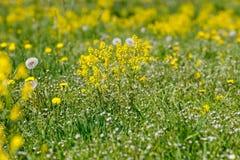 Wiosna kwitnie dandelions w łące, wiosny scena Obrazy Royalty Free