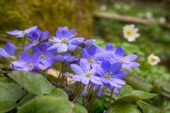 Wiosna kwitnie Europa Szlachetny mayflower obraz royalty free