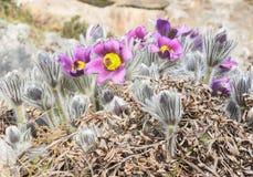 Wiosna kwitnie fiołkowych pierwiosnki Obraz Stock
