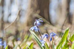 Wiosna kwitnie Glory-of-the-snows5 Zdjęcia Royalty Free