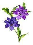 Wiosna kwitnie irysa; odizolowywający na białym tle obrazy royalty free