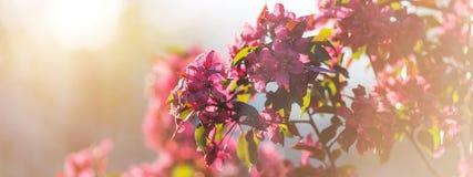 Wiosna kwitnie jabłoni w słonecznym dniu Sztandaru pojęcie Obrazy Stock