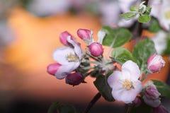 Wiosna kwitnie jabłka Fotografia Royalty Free