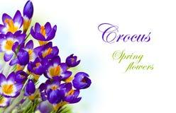 Wiosna kwitnie krokusa odizolowywającego na białym tle obrazy stock