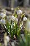 Wiosna kwitnie Leucojum vernum obraz royalty free