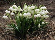 Wiosna kwitnie Leucojum vernum zdjęcie royalty free