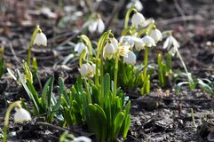Wiosna kwitnie Leucojum vernum fotografia royalty free
