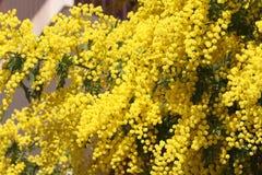 Wiosna kwitnie mimozy Zdjęcia Royalty Free