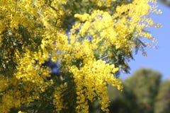 Wiosna kwitnie mimozy Zdjęcie Royalty Free