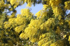 Wiosna kwitnie mimozy Zdjęcie Stock