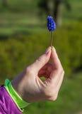 Wiosna kwitnie muscari w dziewczyn rękach Obraz Royalty Free