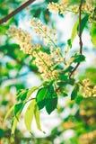 Wiosna Kwitnie na Cisawym drzewie, Zielona Pogodna wieczór łuny mgiełka, natura ogród, Tonujący Obraz Stock