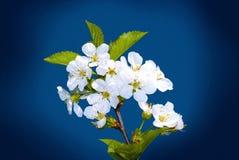 Wiosna kwitnie niebieskie niebo Zdjęcia Stock