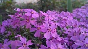 Wiosna kwitnie, piękny kwiecisty tło purpury Zdjęcie Stock