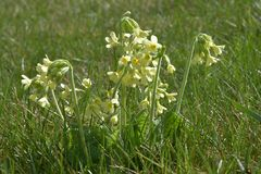 Wiosna kwitnie Primula w trawie Zdjęcie Stock