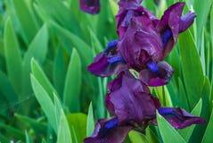 Wiosna kwitnie, purpurowi irysy w ogródzie zdjęcie royalty free