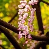 Wiosna kwitnie serie, żałości trellis zdjęcie royalty free