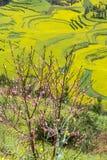 Wiosna kwitnie serie, brzoskwinia kwitnie w rapeseed polu Obraz Stock
