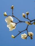 Wiosna kwitnie serie, Magnoliowy drzewny okwitnięcie Obraz Royalty Free