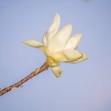Wiosna kwitnie serie, Magnoliowy drzewny okwitnięcie Zdjęcia Stock