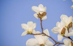 Wiosna kwitnie serie, Magnoliowy drzewny okwitnięcie Fotografia Stock