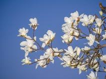 Wiosna kwitnie serie, Magnoliowy drzewny okwitnięcie Zdjęcie Royalty Free