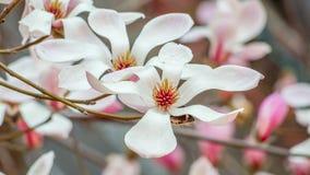 Wiosna kwitnie serie, Magnoliowy drzewny okwitnięcie Fotografia Royalty Free