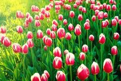 Wiosna kwitnie serie, piękny różowy tulipan w tulipanu polu Fotografia Stock