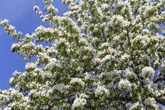 Wiosna kwitnie serie: Zakończenie bonkrety drzewo Fotografia Stock