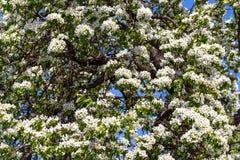 Wiosna kwitnie serie: Zakończenie bonkrety drzewo Fotografia Royalty Free