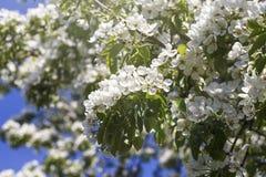 Wiosna kwitnie serie: Zakończenie bonkrety drzewo Zdjęcie Royalty Free