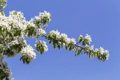 Wiosna kwitnie serie: Zakończenie bonkrety drzewo Obraz Royalty Free