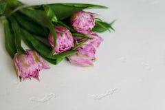 Wiosna kwitnie tulipan kobiet kobiet ` s dzień Obraz Royalty Free