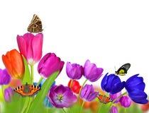 Wiosna kwitnie tulipanu z motylami Obrazy Royalty Free